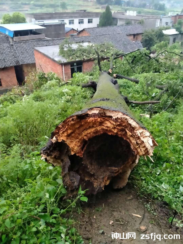 后背山的古树被雷击劈倒,可惜了-钟山网-钟山村